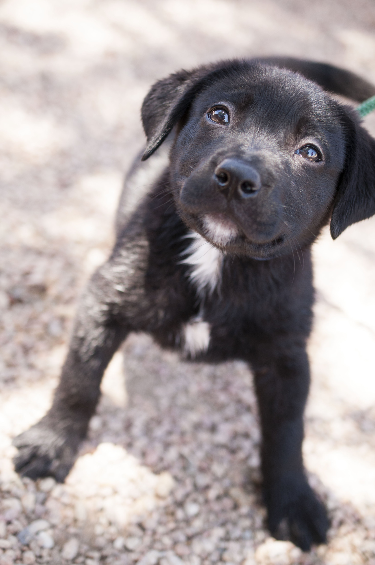 Adoptable Puppies This Week From Lifeline Puppy Rescue