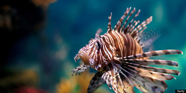 Invasive Lionfish Infe...