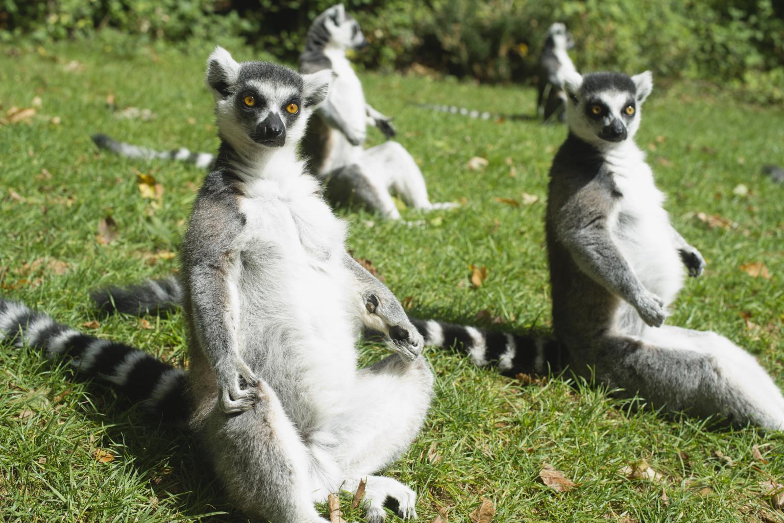 Lemurs Intelligence Street Smarts May Be More