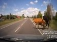 Man Crashes Car Into 2 Cows Humping In Road (VIDEO)