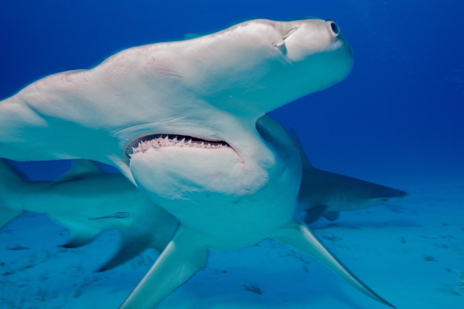 Hammerhead shark eating people - photo#13