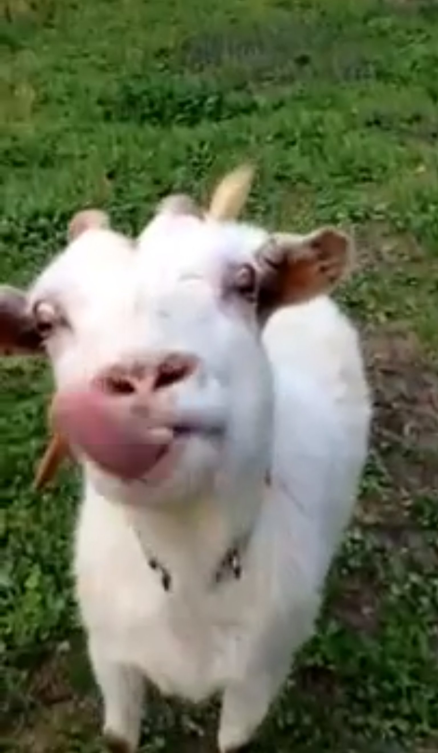 o-GOAT-TONGUE-facebook.jpg