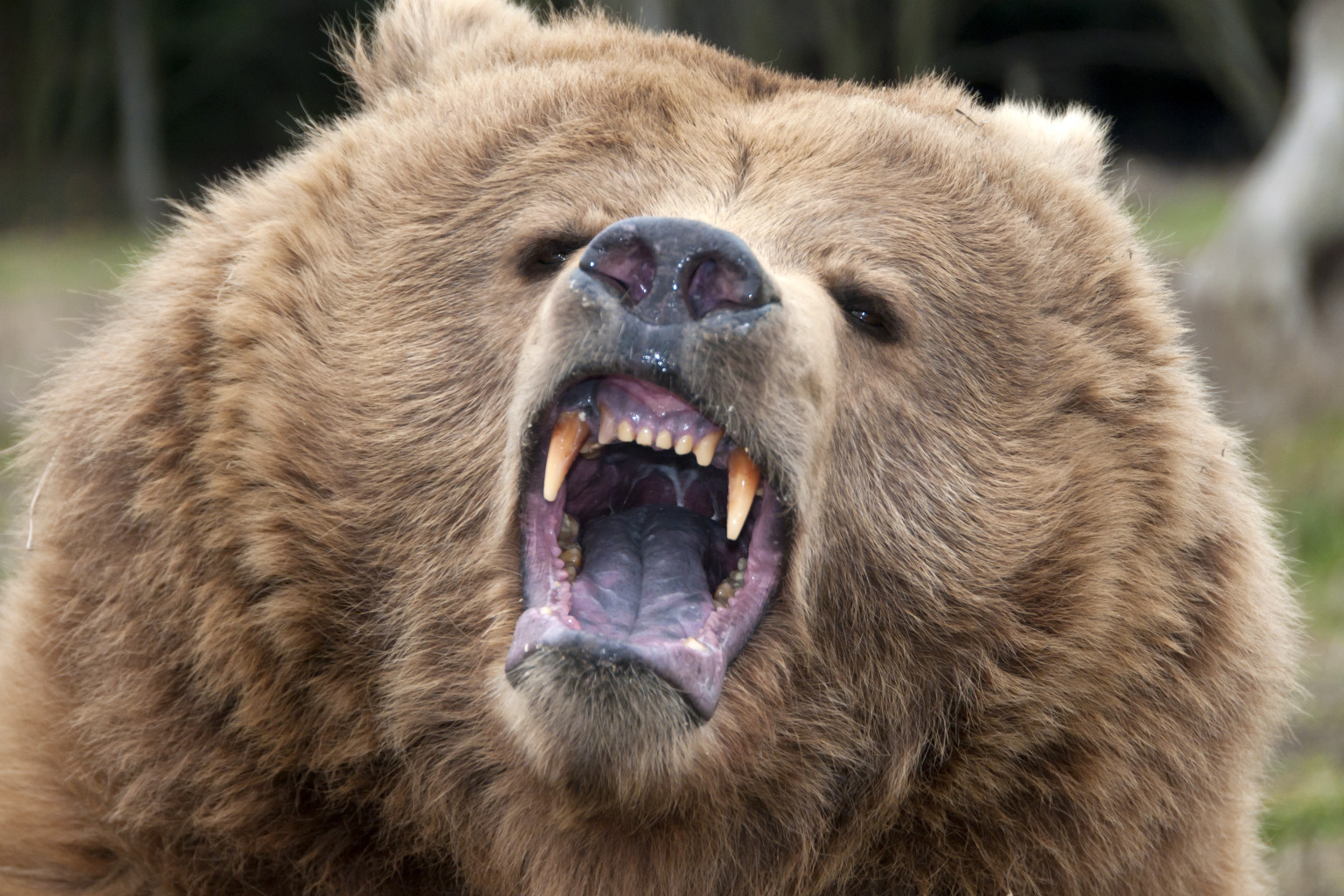Grizzly Attacks Fernie Hikers