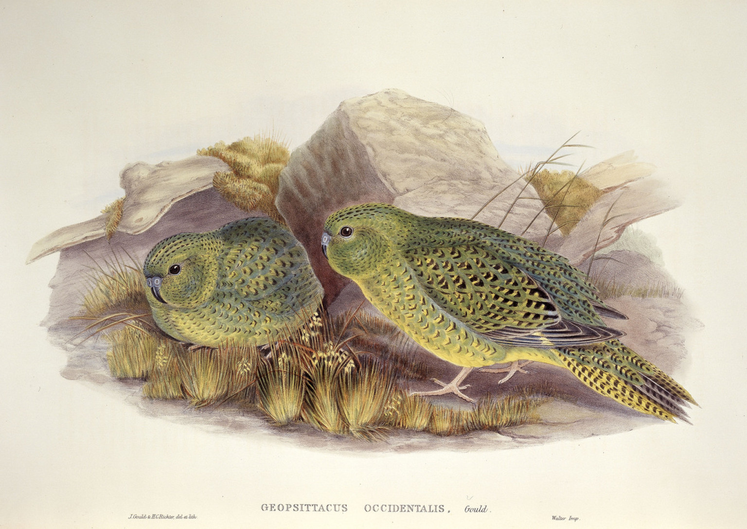 Night Parrot Nocturnal Bird In Australia Seen Alive For