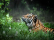 Sumatran Tigers Maul One Man To Death, Trap 5 Others