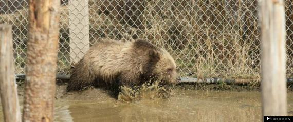 tika rescued grizzly cub golden