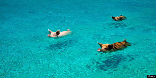 pigs swim