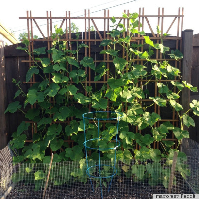 Small space gardening idea uses a trellis to grow vegetables vertically photo huffpost - Vegetable garden in small space decoration ...