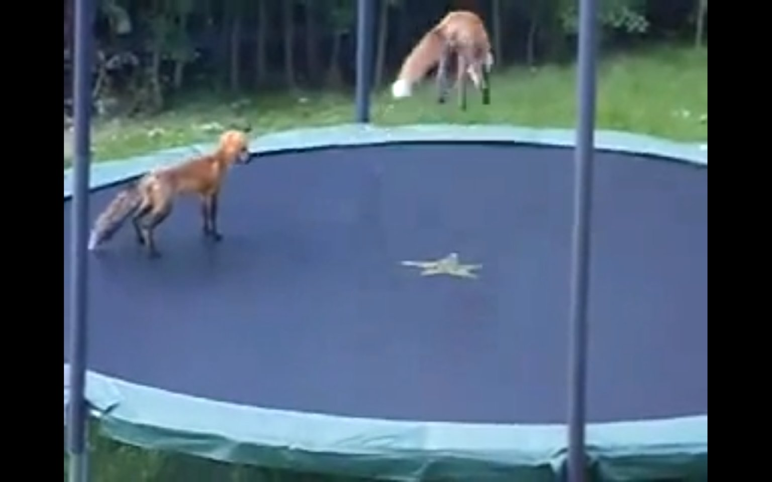 Foxes Jumping O...