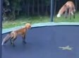Foxes Jumping On A Trampoline Are Adorable (VIDEO)