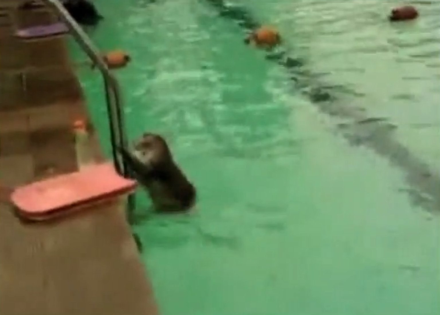 Monkey Swims Laps At Mumbai Swimming Pool Alongside Other Morning Swimmers Video Huffpost