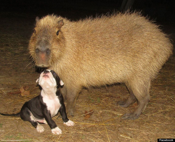Cheesecake The Capybara Is Back With Seven Bulldog Puppies Photos Mrs Fussypants Guide To Life