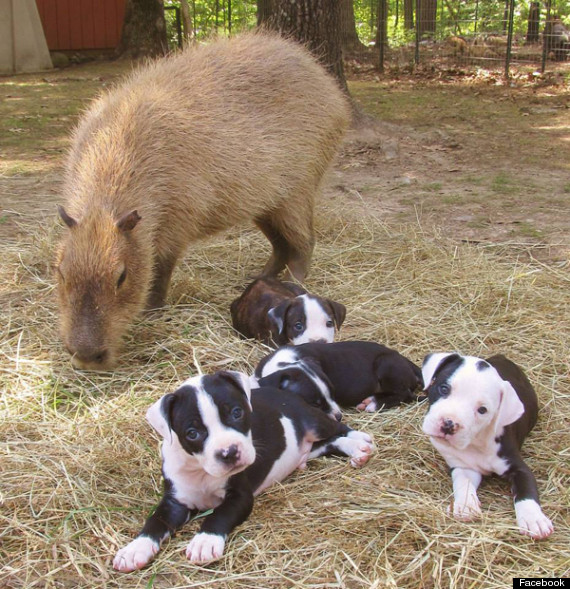 cheesecake capybara puppies