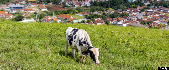 BRAZIL COW