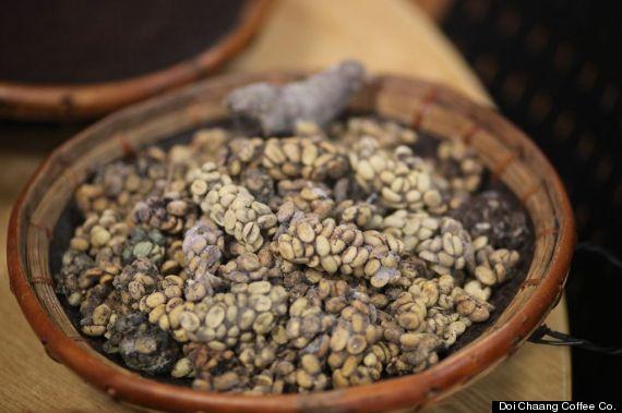 39 Cat Poop Coffee 39 Taste Test Civet Digested Beans Vs Starbucks Vs 7 Eleven Video Huffpost