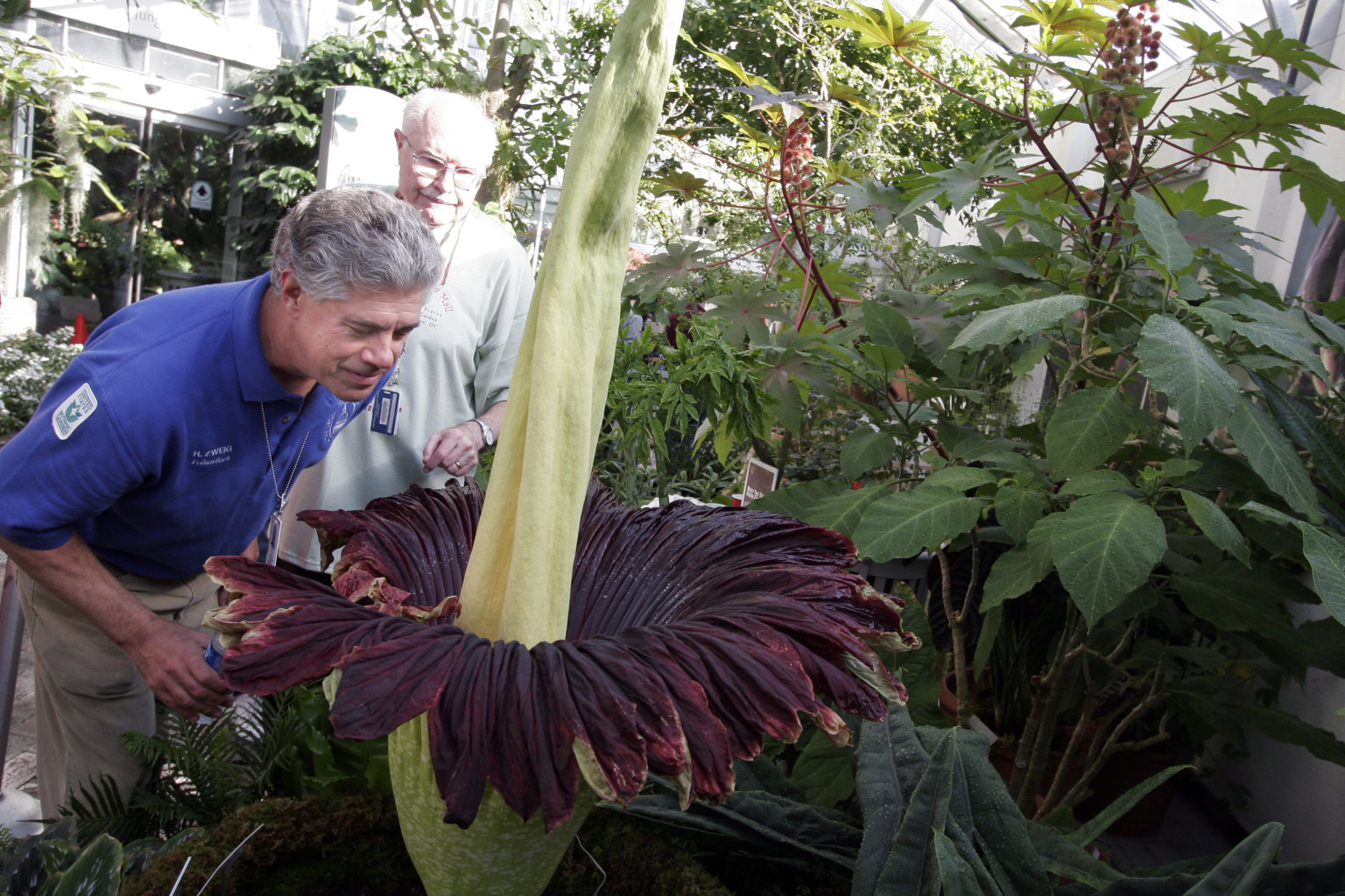 D C Edge Waiting For Corpse Flower World s Stinkiest Flower To Blo