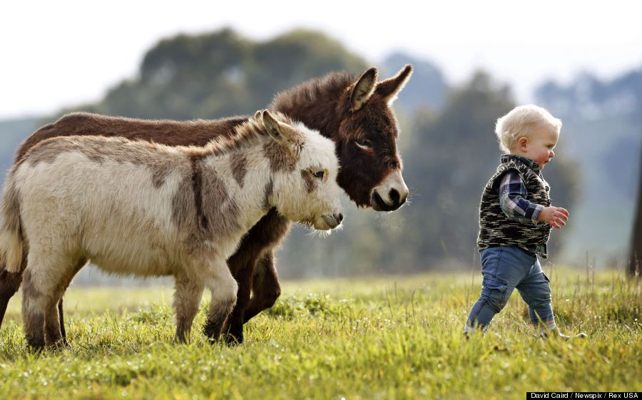 donkey miniature donkeys play with adorable 15 month old boy photos