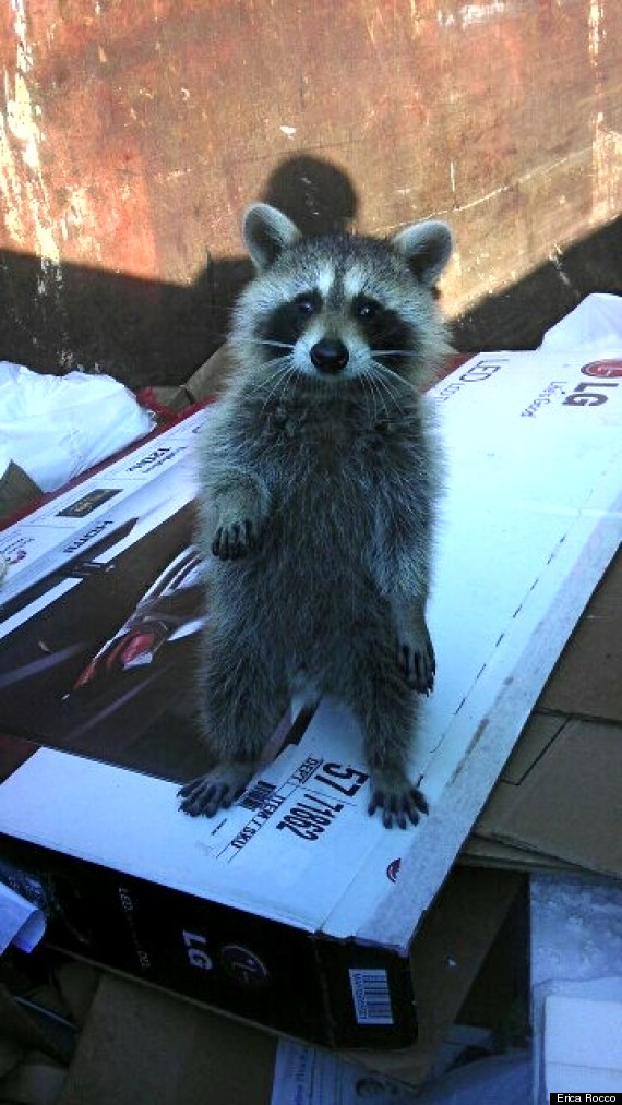 Raccoon Stuck In Dumpster Gets Rescued By Bearded Good