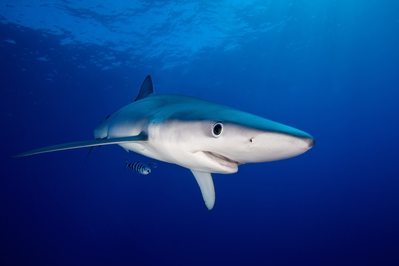 the united states are responsible for killing blue sharks 10 the blue shark has been recorded attacking humans 13 times, which pales in  comparison to the 10-20 million killed by humans each year for food and sport   9 bronze whaler sharks are responsible for 15 attacks on humans since 1580   edition international editions: united states us.