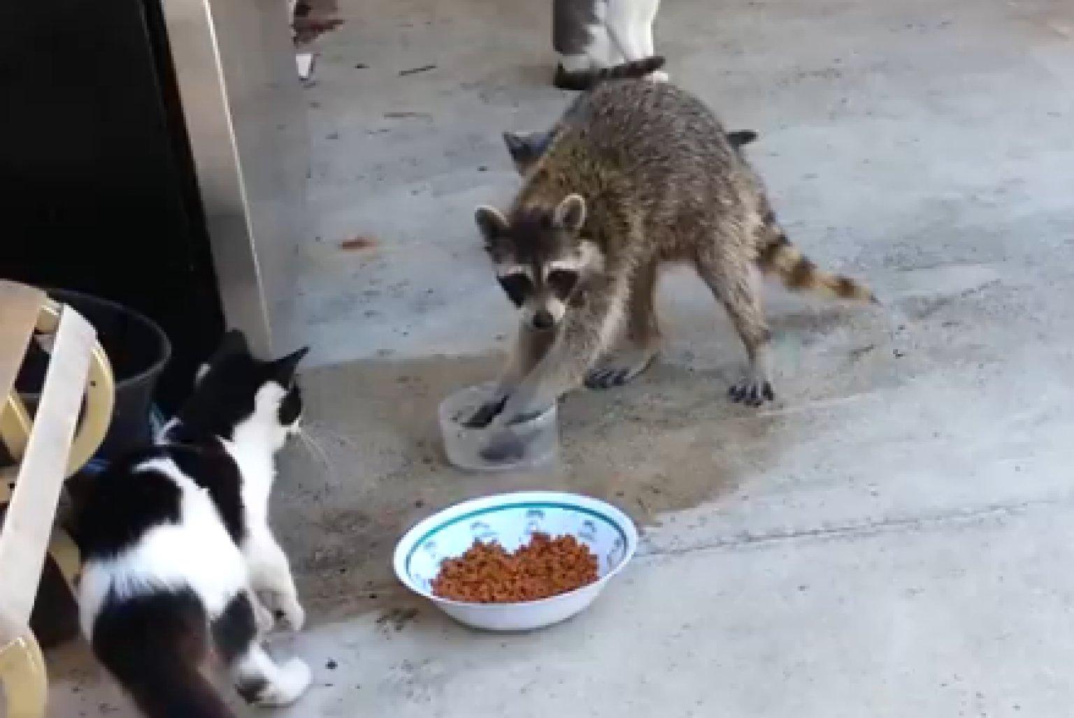 Funny Raccoon Video Stealing Cat Food