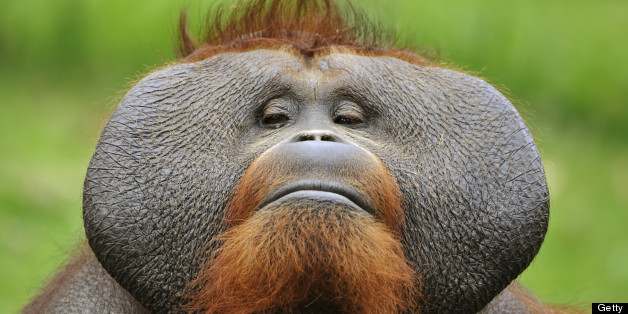 similarities between chimps and orangutans Contrary to popular wisdom, two biologists are arguing that orangutans, not chimps, are humans closest relatives contrary to popular wisdom, two biologists are furthermore, genetic similarities could arise independently, and don't necessarily equal an evolutionary relationship.