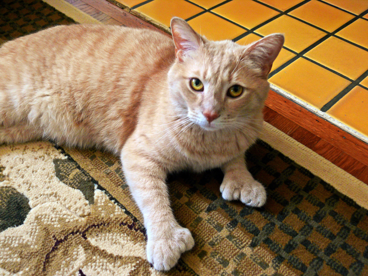 polydactyl cats the felines with extra toes