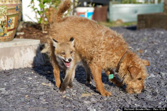 Download image Fox And Hound Real Life PC, Android, iPhone and iPad ...