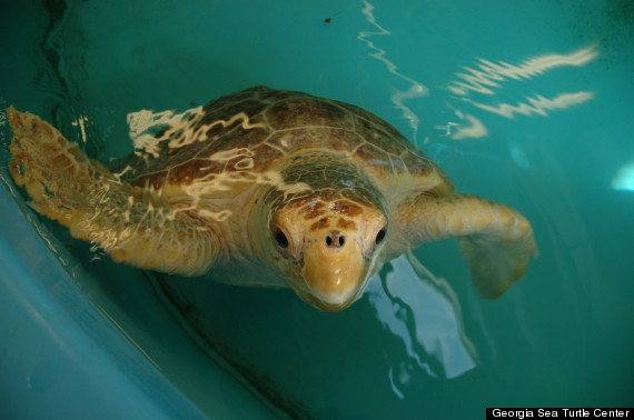caton turtle
