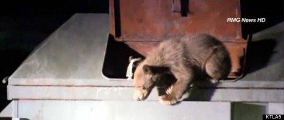 azusa bear cub rescued