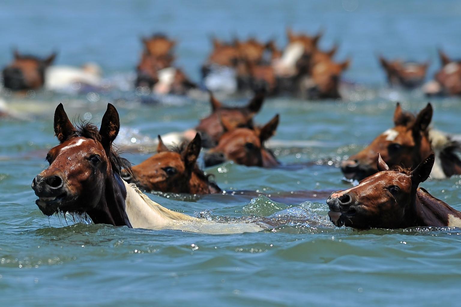 Chincoteague Pony Swim 2013: Assateague's Wild Horses ...