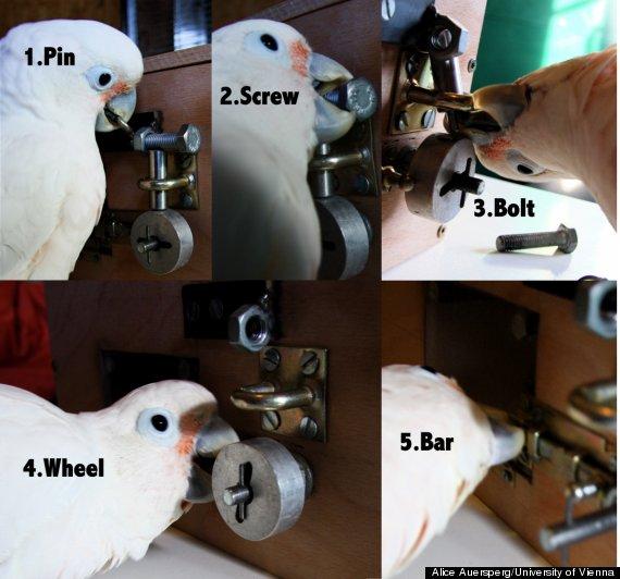 cockatoos pick locks