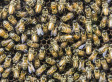 Thousands Of Bees Attack Texas Couple, Kill Horses