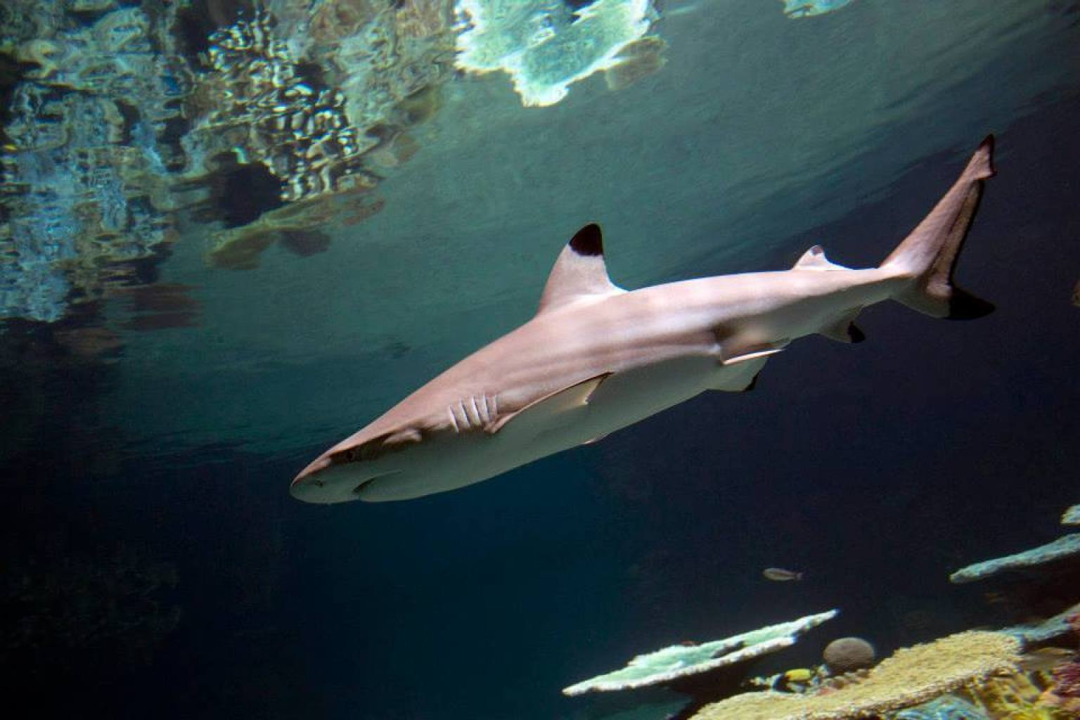 Baltimore national aquarium 39 s 13 million blacktip reef for Shark fish tank