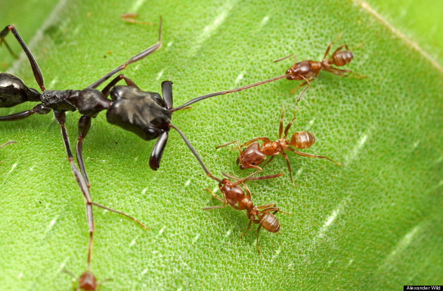 Trap Jaw Ant Facts Such as This Trap-jaw Ant