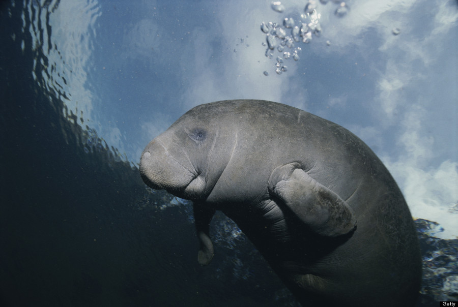 What does a dugong look like 11