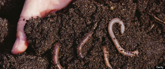 DIGGING WORMS
