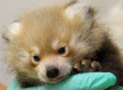 Sacramento Zoo's Red Panda Cub Will Hopefully Be Able To Join His Friends Soon (PHOTOS, VIDEO)