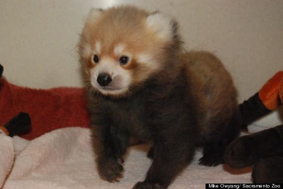 red panda cub sacramento zoo