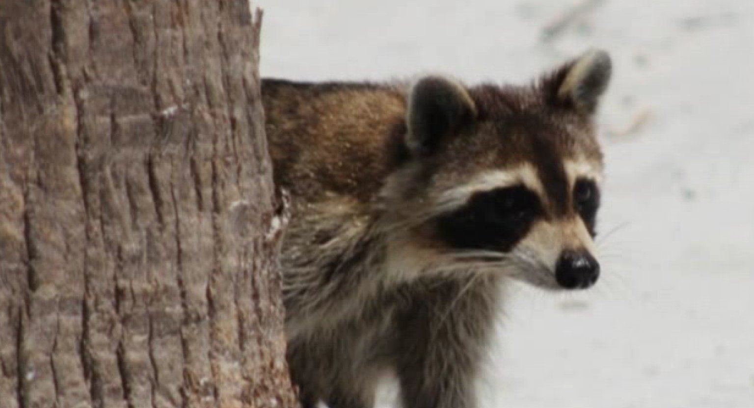 raccoon muslim Twitter users have been tracking the raccoon's  father who 'starved and abused 11 children with another man and three mothers at an extremist muslim .