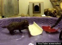 WATCH: Awww, Fishing Cat Kitten Plays With Mom In Pool