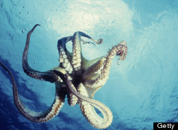 Scientists Spy on Sex Lives of Octopuses