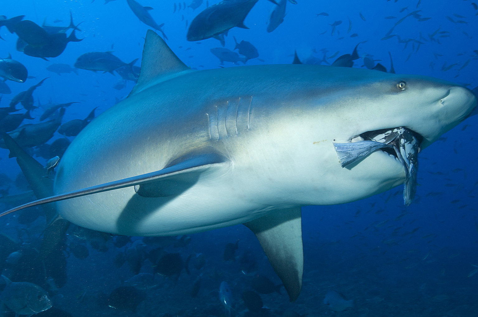 Bull Shark Bite - Viewing Gallery