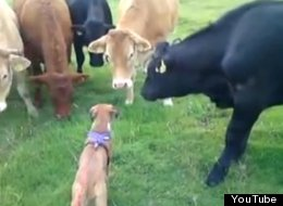 WATCH: Bizarre Friendship Blossoms Between Puppy And Cows