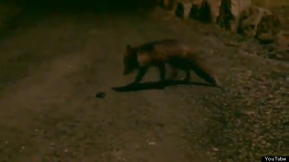 fox steals mobile