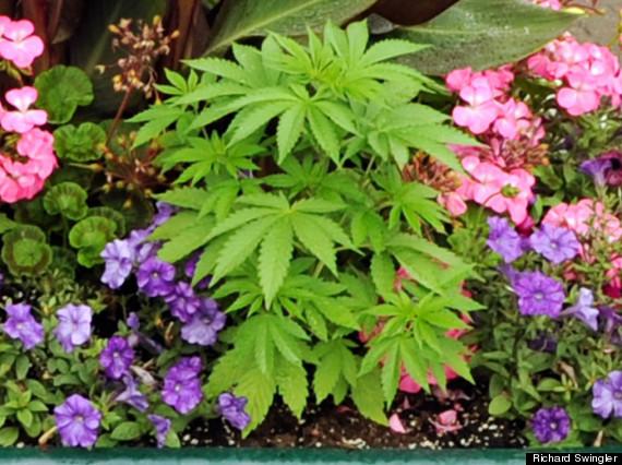 cannabis pot plant newport