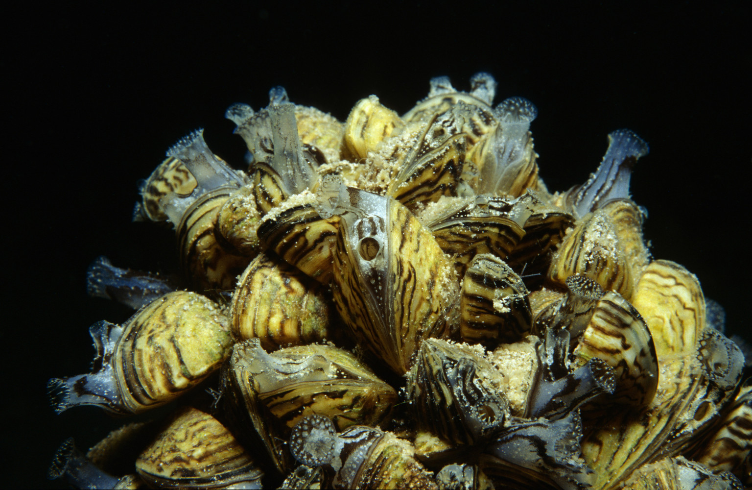 an introduction to the history of the invasion of the zebra mussels