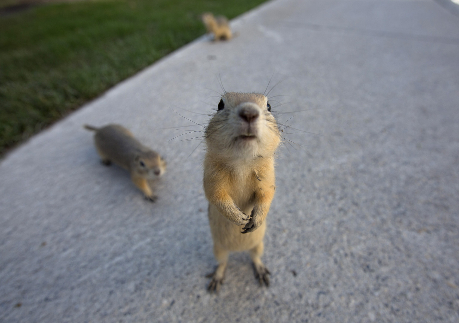 Gophers Come Out In Calgary After Alberta Floods (PHOTO ...