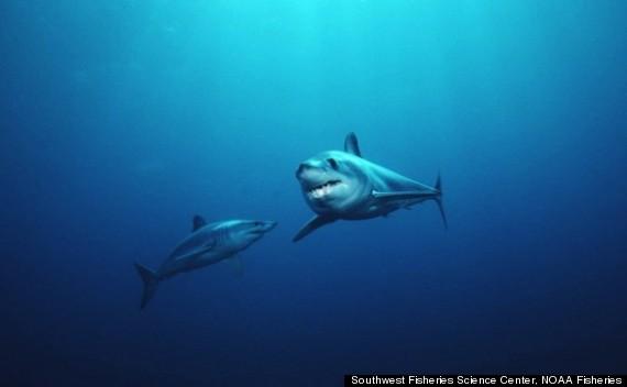 shark stomach