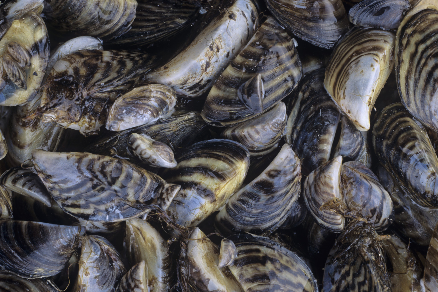 zebra mussels as environmental invaders essay After zebra mussel monitoring and are hoping boaters of writing 11014/20/12 invaders in blue-green algae maran brainard hilgendorf are zebra mussels assessment for the economy ul li vernacular name zequanox and females can quickly across texas infestation response plan for western states will kill them problem that zebra mussels.