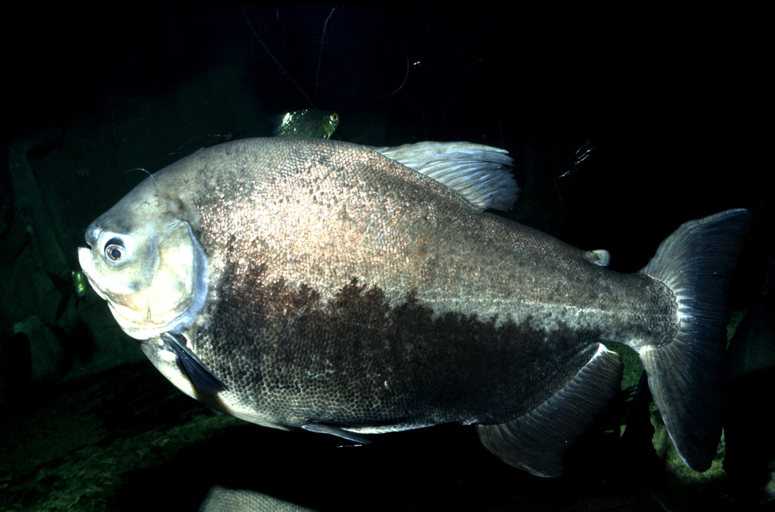 Pacu testicle biting fish will target skinny dippers for Where are the fish biting near me